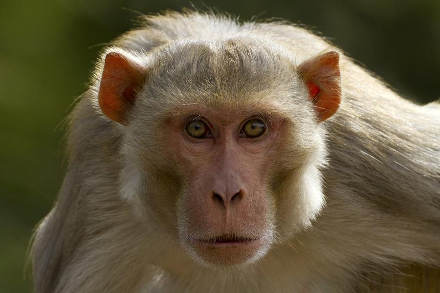 China registra primeira morte de humano por vírus raro transmitido por macacos - 1