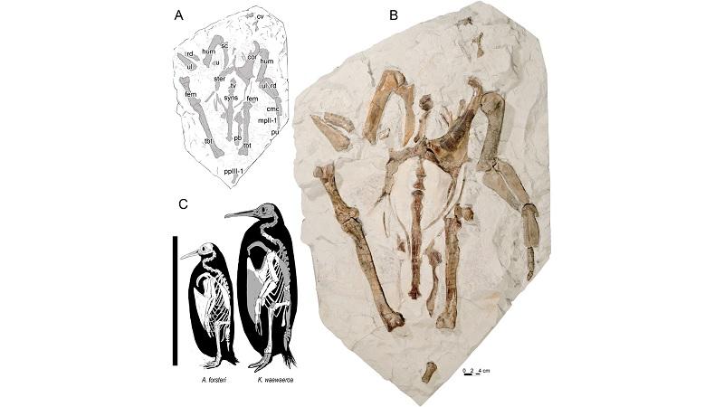 Crianças encontram fósseis de nova espécie de pinguim gigante na Nova Zelândia - 1